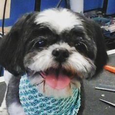 Timmy B #tucsondoggrooming #wagsmytail #doggrooming A well groomed dog is a well loved dog! Call us today to schedule your dog grooming appointment 520-744-7040