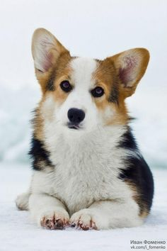 Everything About Small Corgis Puppies Size pembroke welsh corgi tricolor Cute Corgi Puppy, Corgi Funny, Corgi Dog, I Love Dogs, Cute Dogs, Corgi Facts, Pembroke Welsh Corgi Puppies, Corgi Pictures, Gatos