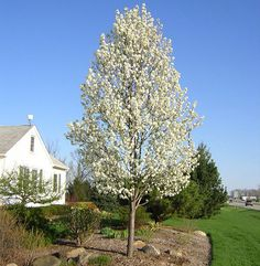 Cleveland Select Pear Trees // Sold at Treeland Nursery // Learn more on Sugar and Sap Blog