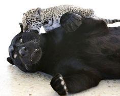 Cute Jaguar Cubs | Black Jaguar and cub