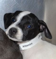 . . . irresistible.  This is Altamira who's at PAWS, a no-kill shelter in Chicago.  2.27.13
