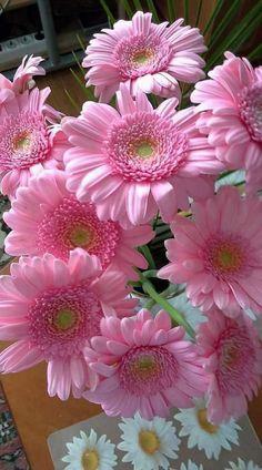 Gerberas, or Gerber Daisies. Exotic Flowers, Amazing Flowers, Colorful Flowers, Spring Flowers, Happy Flowers, My Flower, Pretty Flowers, Pink Gerbera, Pink Daisy