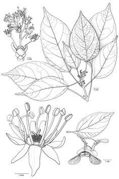 Botanical line drawingAcer laurinum - ACERACEAE - © Hanneke Jelles - NHN-Leiden 2007