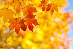 Sugar maple trees showing mysterious decline in growth Leaves Wallpaper Iphone, Lit Wallpaper, Iphone 6, Branch Tattoo, Leaf Texture, Maple Tree, Maple Leaves, Autumn Scenes, Magnolia Leaves