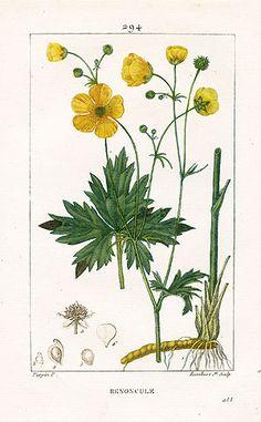 Vintage Botanical Prints, Botanical Drawings, Plant Illustration, Botanical Illustration, Botanical Flowers, Botanical Art, Flora Und Fauna, Pressed Flower Art, Flower Prints