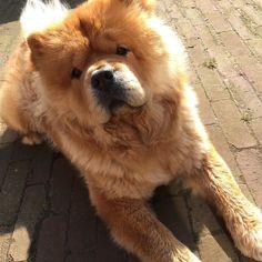 Moos! #chowchow #chowlife #sun #instapet #instachow #dogsofinstagram #dogoftheday #fluffy #bear #dogs_of_world_ #cutepuppyclub #cuteanimals #animalsaddict #adorimals #mydogiscutest #lacyandpaws by chow_chow_moos