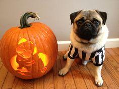 Puglet loves Halloween!