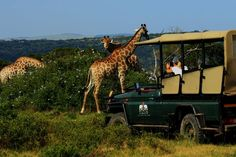 Guests enjoy a great sighting of the giraffes! www.sibuya.co.za Game Reserve, Giraffes, Horse Riding, Canoe, Resorts, Wilderness, Cruise, Exotic, Destinations