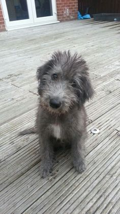 Tiny Dog Breeds Anonymous said: Irish wolfhounds?Tiny Dog Breeds Anonymous said: Irish wolfhounds? Cute Puppies, Cute Dogs, Dogs And Puppies, Doggies, Fox Terriers, Irish Wolfhound Puppies, Irish Wolfhounds, Scottish Deerhound, Tier Fotos