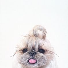 "Discover additional info on ""shih tzu puppies"". Check out our web site. Animals And Pets, Baby Animals, Funny Animals, Cute Animals, Cute Puppies, Cute Dogs, Dogs And Puppies, Doggies, Cute Creatures"