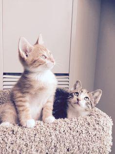 Rocco (Ginger) Cat | Pawshake Toronto