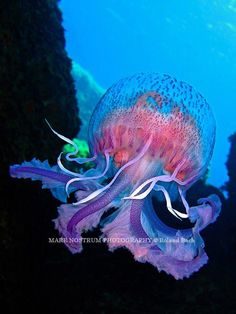 Wow the colors are so beautiful. It's tentacles are somewhat of an octopus'