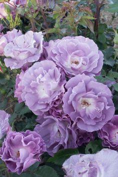 Rosa 'Pacific Dream' ® - Rosier, Rosier 'pacific dream', Rose 'pacific dream', Rose   Toutes les plantes avec Florum Drift Roses, Heritage Rose, Pot Jardin, English Roses, Violet, Mauve, Gardens, Flower Template, Tulips