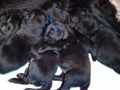 Flat coated retriever puppy Monty - 1 week