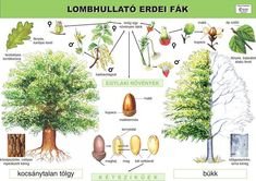 "Képtalálat a következőre: ""fa részei"" Environmental Studies, Home Schooling, Diy For Kids, Homeschool, Teaching, Activities, Education, Plants, Petra"