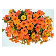 Petunia Cascadias Indian Summer Indian Summer, Shrubs, Floral Wreath, Plants, Trees, Google, Beautiful, Annual Plants, Replant