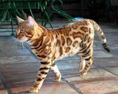 Leopardkind Bengals