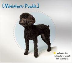 Did you know the Miniature Poodle started as a hunter of truffles, and excelled at scenting and digging up this prized fungus? Read more about this breed by visiting Petplan pet insurance's Condition Checker!