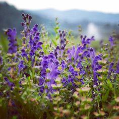 Memories of #summer on #GaiaFarm with a field of #ChineseSkullcap. // #GaiaHerbs #Skullcap #herbs #herb #flowers