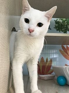 New York Ny Domestic Shorthair Meet Bee Bee A Cat For Adoption Cat Adoption Siberian Cats For Sale Saving Cat