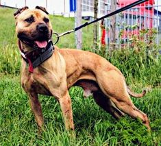 Pit Dog, American Pitbull, Awesome Dogs, Dog Games, Hunting Dogs, Pit Bulls, Pitbull Terrier, Best Dogs, 4x4