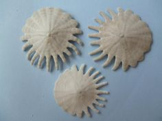 """Michal JurásekSea Shell Collecting """"sanddollars"""" Heliophora orbiculus (Linné, 1758) This genus is present from western coast of Sahara and Senegal to Angola."""