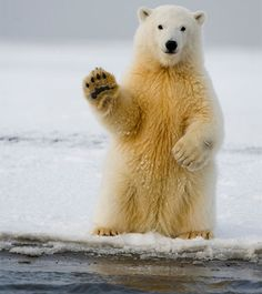 """Polar bear.  """"Hello, is it me you're looking for?..."""""""