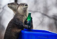 A lighter look: Otters trained in recycling at the Seneca Park Zoo in Rochester