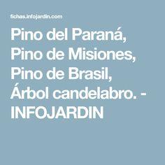 Pino del Paraná, Pino de Misiones, Pino de Brasil, Árbol candelabro. - INFOJARDIN