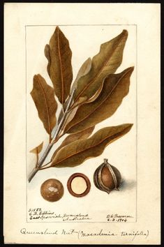 macadamia botanic images - Google Search