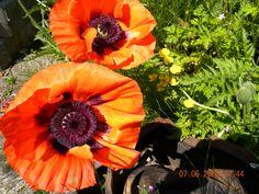 Orange garden poppies.