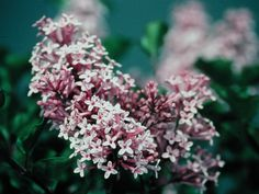 Dward Korean Lilac 'Miss Kim' | Great Plant Picks  Had this in CO, would love to try it in WA