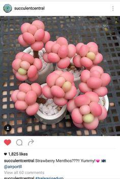 Strawberry Menthos  Treleasi Sedum Succulents