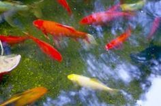 How to Raise Baby Koi After They Are Born