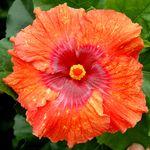 Exotic Hibiscus 'Quick-Change Artist'