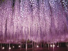Year Old Wisteria In Bloom Looks Like A Pinkpurple Sky And - Beautiful wisteria plant japan 144 years old