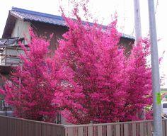 シンボルツリー、生垣に大人気!。【マンサク属】銅葉トキワマンサク紅花4号ポット