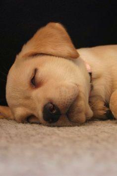 Baby Mar Mar!  Yellow Lab Puppy Sleeping