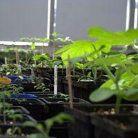 C'est le temps des semis QUÉBEC   Différents semis dans une serre. Crédit : Julien Yensen Martin