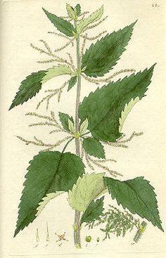 Nokkonen sisältää erittäin paljon piitä, rautaa ja C-vitamiinia (n. 100 mg/100g); vihreissä osissa on korkea klorofyllipitoisuus. Kasvi sisältää myös tärkeitä A-, B-, E- ja K-vitamiineja. Nokkosessa on mm. pinaattiin verrattuna seitsenkertaisesti rautaa. Nokkosen ravintoarvo on erittäin korkea. Mikään kasvi Suomessa ei sisällä yhtä paljon mineraalisuoloja kuin nokkonen.