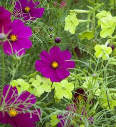 A great zingy combination, which looks fabulous from a distance and close to. Includes Cosmos 'Dazzler' and Nicotiana 'Lime Green'.