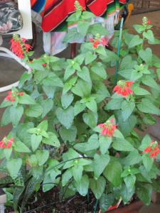Heat Resistant Plants | Tj's GardenCan you grow Salvia in pots and containers?  Absolutely! We have several different pots with gorgeous Scarlet Sage blooming throughout the yard.  Our favorite color of Salvia for our garden is red but many cultivars offer pastel blooms such as pinks and blues.  The main difference with growing Salvia in containers is:  1)  the plants need to be watered more often      2)  several of the small shrubs needed replaced after winter red salvia in Arizona