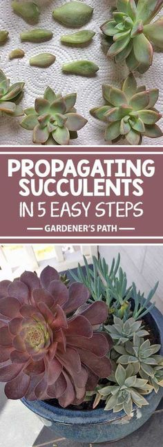 Succulents in 5 Easy Steps Are you looking for an affordable way to xeriscape with succulent plants? Create an enchanting low-maintenance array of colors, shapes, and textures by purchasing one of each of your favorites, and propagating the rest yourself. Propagating Succulents, Growing Succulents, Cacti And Succulents, Planting Succulents, Planting Flowers, Cactus Plants, Types Of Succulents, Succulent Landscaping, Succulent Gardening