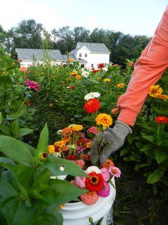 Zinnias on the JP Parker Flowers Farm. #FlowerPower http://www.jpparkerco.com/our-farm/