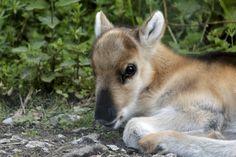 Naissance d'un renne au zoo de Servion