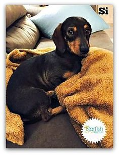 Pictures of Si a Dachshund for adoption in Plainfield, IL who needs a loving home.