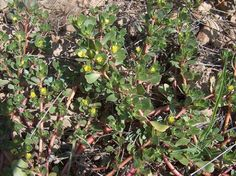 Purslane facts and purslane recipes to bolster your appreciation of this virtuous wild plant.