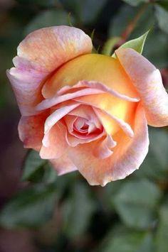 ♡ Mama liked flowers ♡ Beautiful Rose Flowers, Love Rose, Exotic Flowers, Amazing Flowers, Beautiful Gardens, Beautiful Flowers, Rose Images, Pink Roses, Planting Flowers