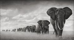 artnet Galleries: Elephants Walking Through Grass, Amboseli, 2006 by Nick Brandt from HASTED KRAE...