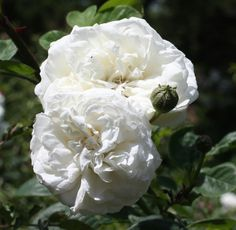 'Long John Silver' | Climber, Hybrid Setigera, Large-Flowered Climber, Rambler. Rose. Michael Henry Horvath (United States, 1934)
